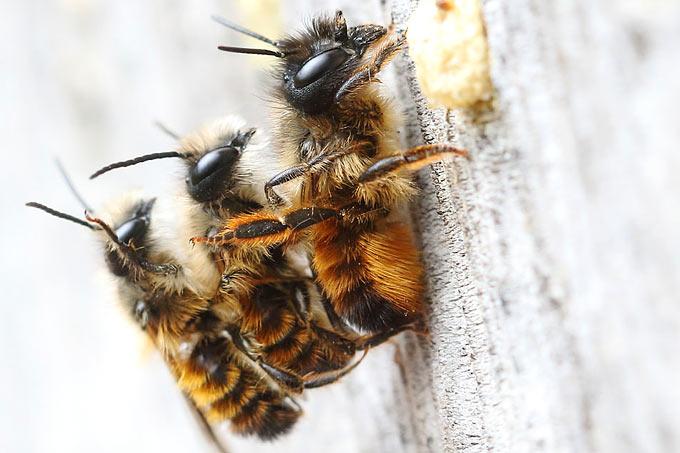 Welche Bienenarten Gibt Es Und Wie Kann Man Ihnen Helfen Nabu