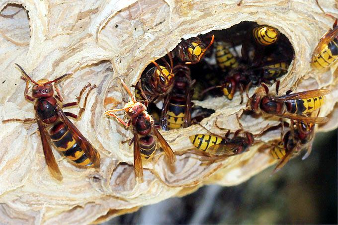 umgang mit wespen und hornissen kein grund zur panik nabu