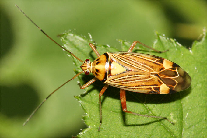 Eichen-Schmuckwanze (Calocoris striatellus) - Foto: Helge May