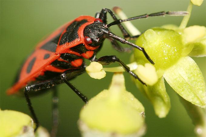 pflanzen f r den insektengarten nabu. Black Bedroom Furniture Sets. Home Design Ideas