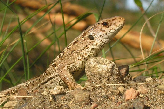 Allgemeine Informationen Zu Reptilien Nabu
