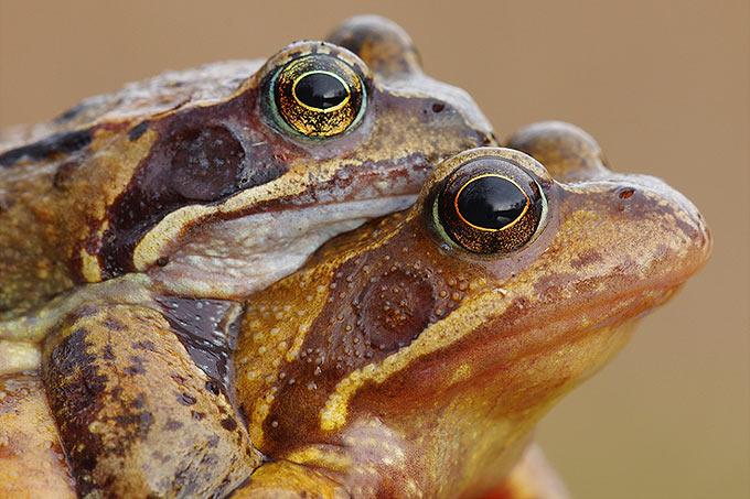 Grasfroschpaar - Foto: Achim Schumacher