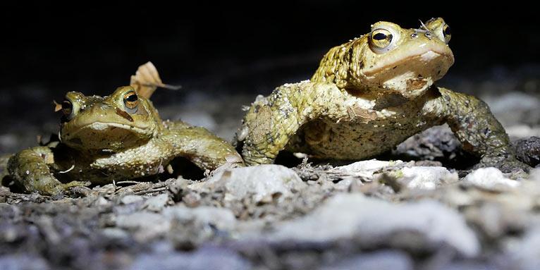 Berühmt Aktuelle Nachrichten zur Amphibienwanderung - NABU #LH_34