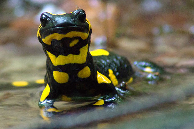 salamanderfresser bedroht feuersalamander nabu. Black Bedroom Furniture Sets. Home Design Ideas
