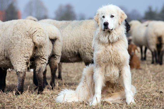 Geliebte Wirksame Abschreckung: Herdenschutzhunde wehren Wölfe ab - NABU @GJ_89