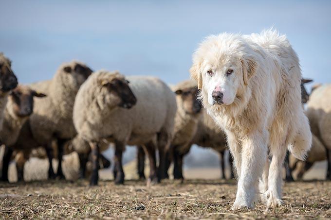 Herdenschutzhund - Foto: NABU/Sebastian Hennigs