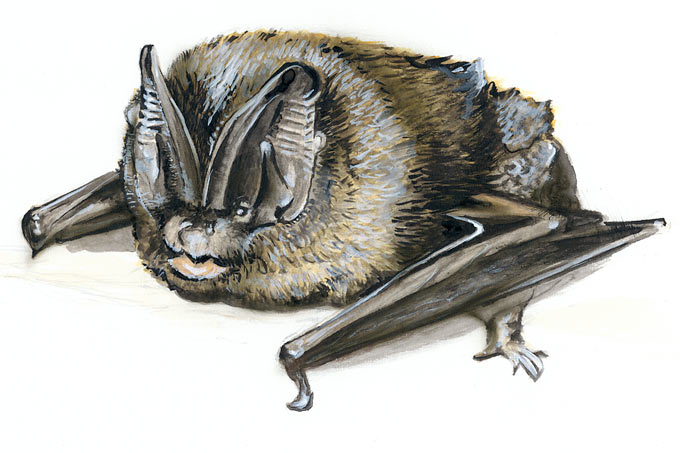 Mopsfledermaus - Illustration: Stefanie Gendera
