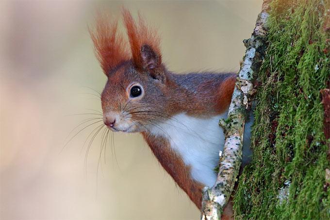 Weiblicher Eichhörnchen