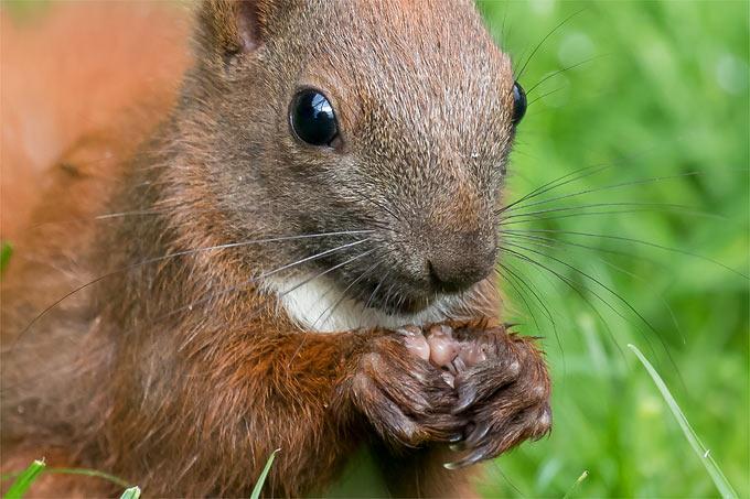 eichhörnchen zum ausdrucken  ausmalbilder und vorlagen