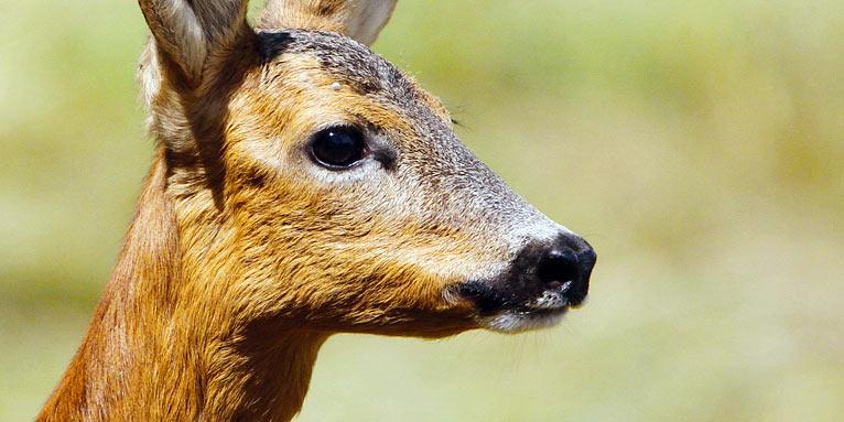 Wildtier Des Jahres 2019 Das Reh Nabu