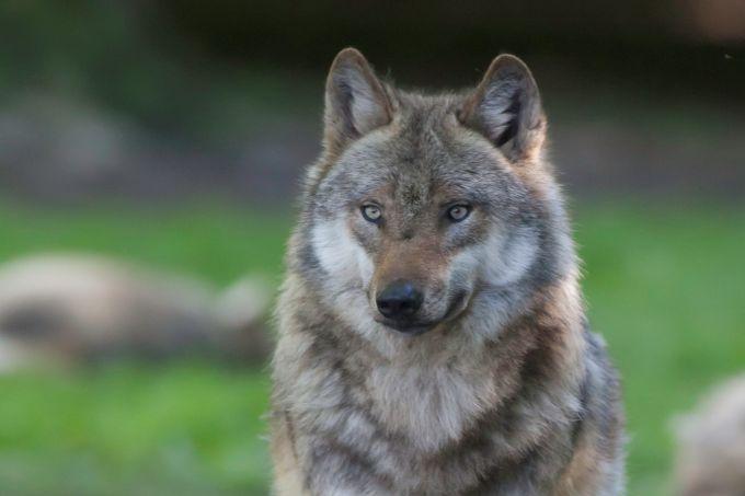 FAQ: Die wichtigsten Antworten zum Wolf - NABU