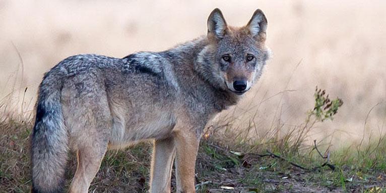 https://www.nabu.de/imperia/md/nabu/images/arten/tiere/saeugetiere/raubtiere/hundeartige/wolf/140908-nabu-wolf-munster-nord-juergen-borris2-766.jpeg