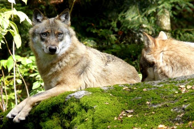 tiere pflanzen saeugetiere wolf wissen