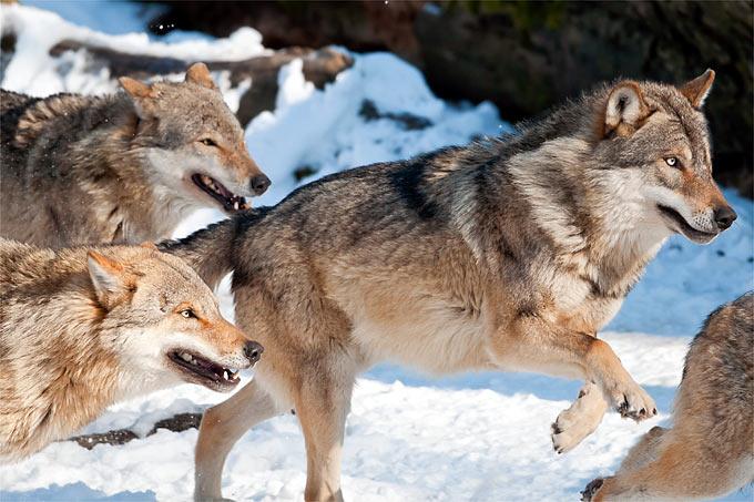 Die erste Wolfsverordnung tritt in Brandenburg in Kraft - Foto: Christoph Bosch