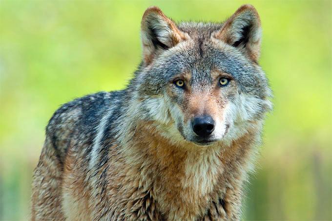 Und wieder ist ein Wolf tot