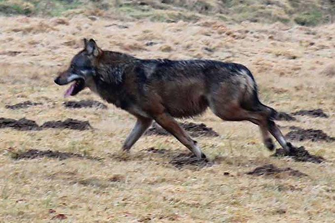 Wolf Westerwald