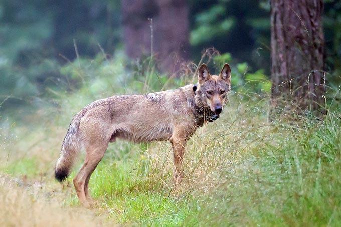 Wolf MT6 mit Senderhalsband - Foto: Jürgen Borris