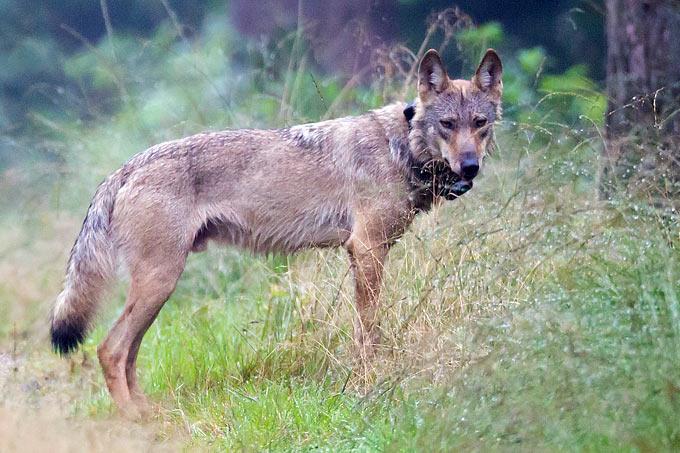 Wolf MT6 mit Senderhalsband - Foto: NABU/Jürgen Borris