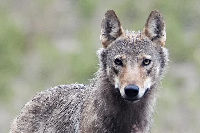 Lübtheener Wolf wurde gezielt erschossen