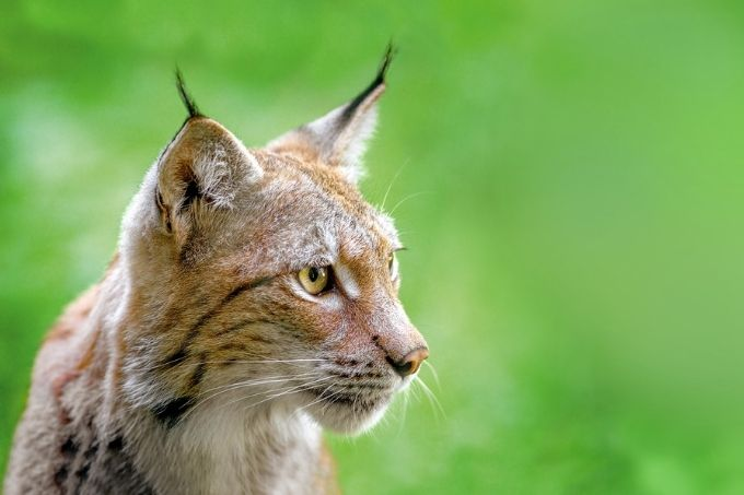 Luchs - Foto: Anna Yu/AY Images