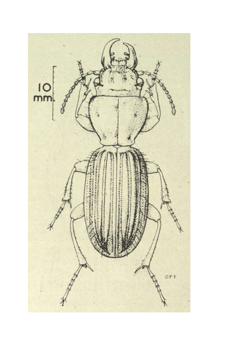 Zeichnung des Stevens Island-Laufkäfers - Quelle: Britton, E.B. 1949. The Carabidae (Coleoptera) of New Zealand. Transactions and Proceedings of the Royal Society of New Zealand 77: 533-581