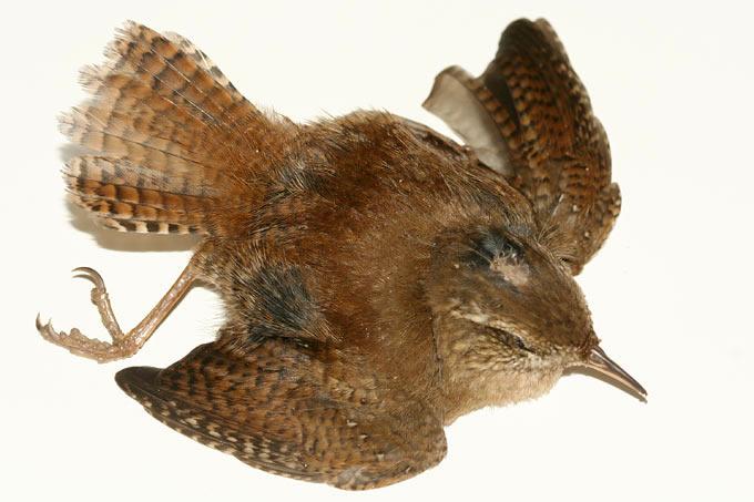 Vogelschlag An Glas Nabu