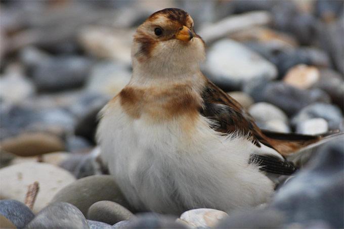 Schneeammer-Weibchen - Foto: NABU/Sven Baumung