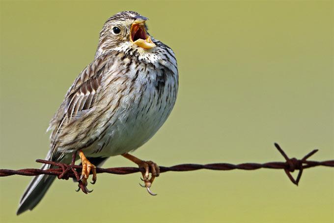 Singende Grauammer - Foto: Frank Derer