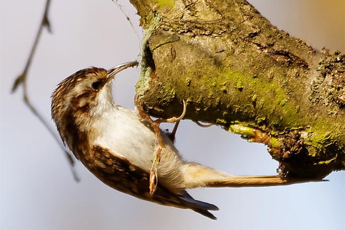 Waldbaumläufer - Foto: Rüdiger Arp/www.naturgucker.de