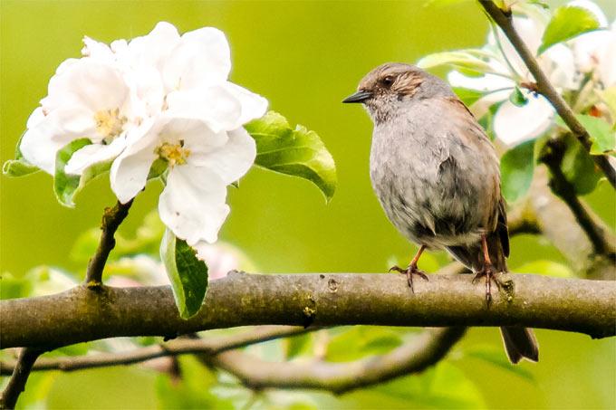 Heckenbraunelle in Apfelbaum – Foto: NABU/Kathy Büscher