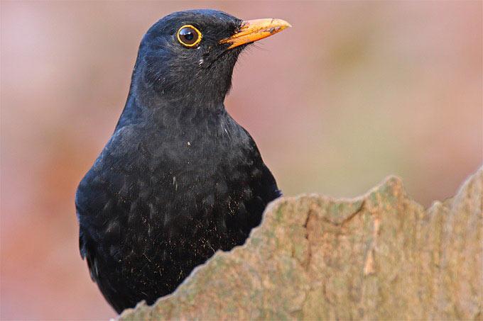 Das Männchen ist mit seinem schwarzen Gefieder, dem gelben Schnabel und Augenring gut zu erkennen. - Foto: Frank Derer