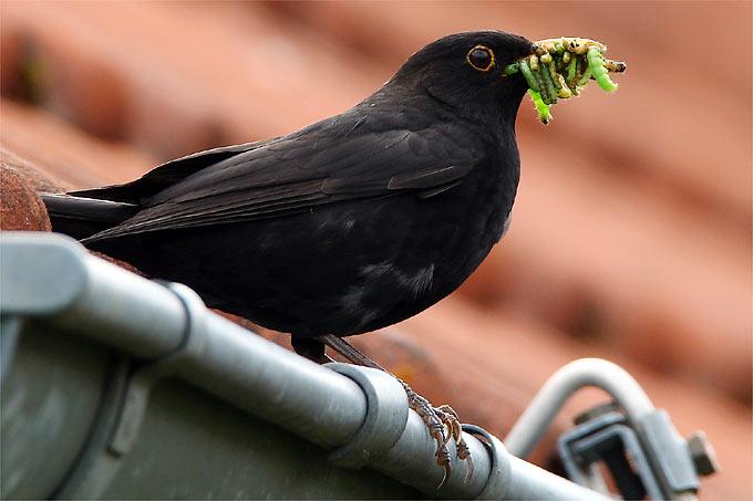 In naturnahen Gärten finden Amseln genügend Futter für ihre Jungen. - Foto: Frank Derer