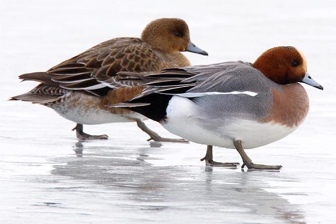 Pfeifentenpaar auf Eis - Foto: Frank Derer