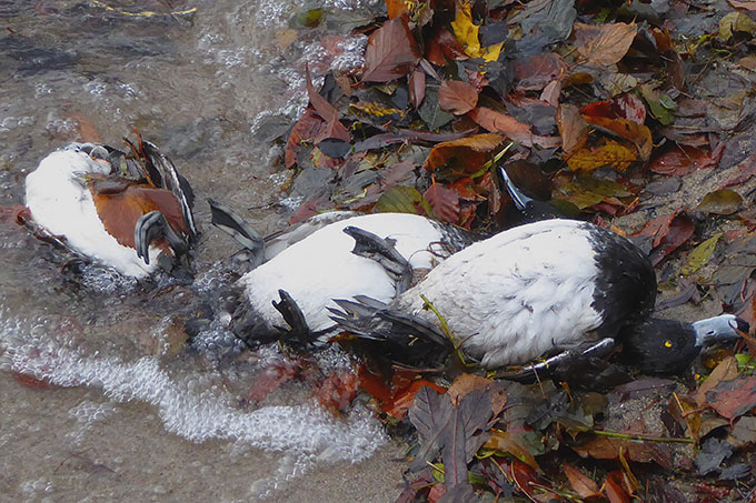 An Vogelgrippe verendete Reiherenten am Großen Plöner See - Foto: Carsten Pusch, NABU Schleswig-Holstein