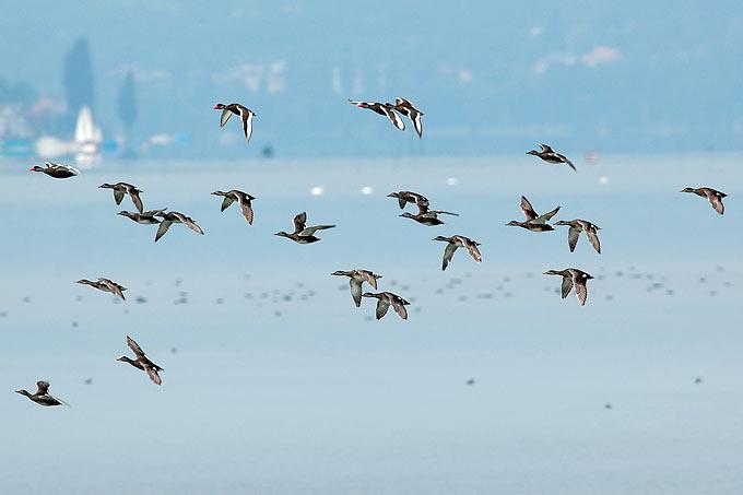 Kolbenenten über dem Bodensee - Foto: Max Granitza