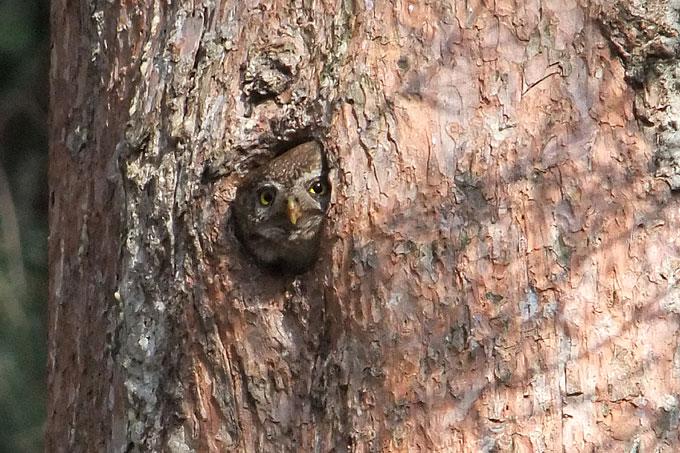 Sperlingskauz in seiner Baumhöhle- Foto: Matthias Schrack
