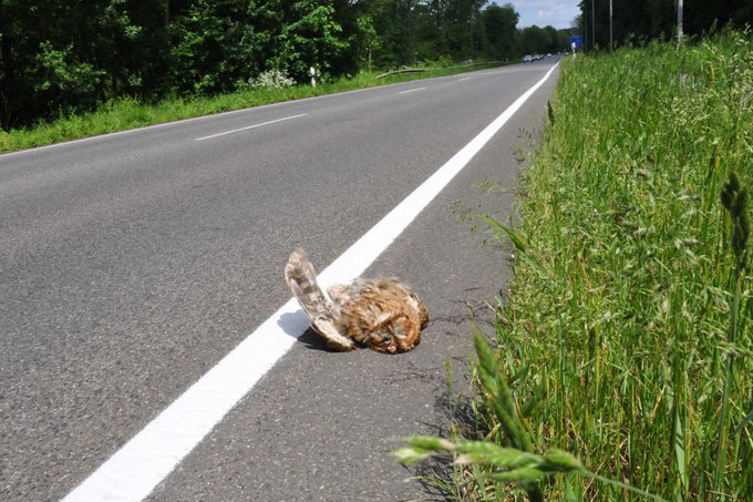 Waldkauz-Verkehrsopfer - Foto: Thiemann
