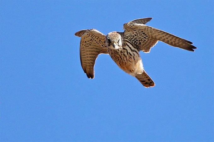 Merlin - Foto: Jürgen Podgorski/www.naturgucker.de