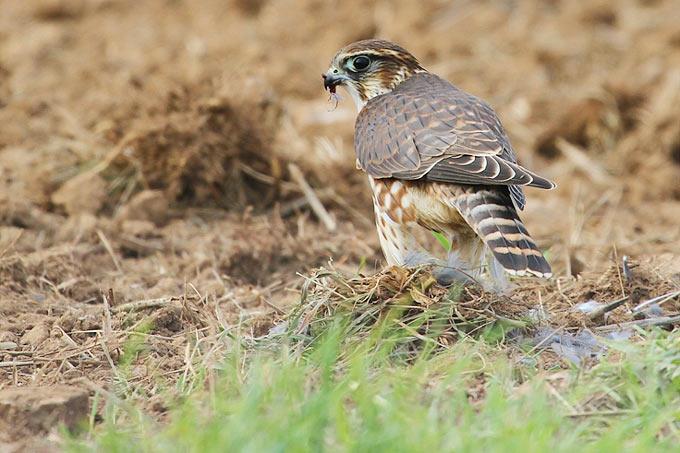 Merlin - Foto: Michael Wimbauer/www.naturgucker.de