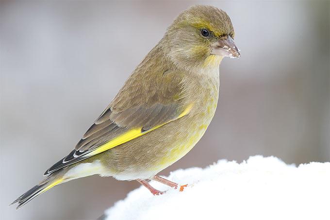 Grünfink im Schnee - Foto: Frank Derer