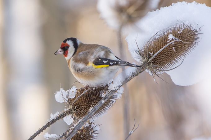 Stieglitz im Winter - Foto: Andreas Hatl