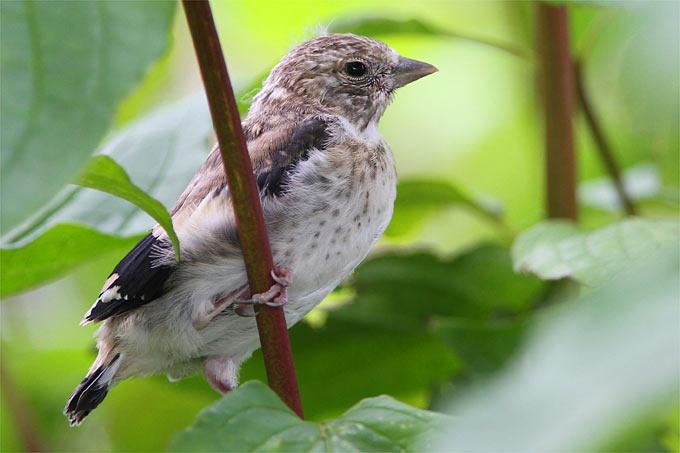 Stieglitz-Jungvogel (Distelfink) - Foto: Christoph Moning