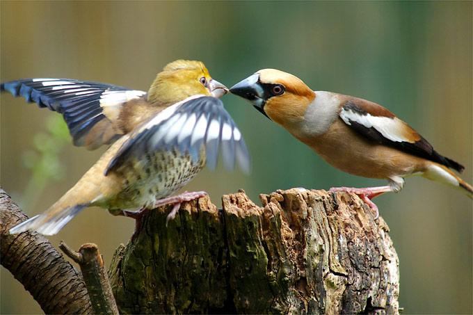 Kernbeißer füttert Nachwuchs - Foto: NABU/Olaf Rambow