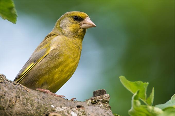 Farbenfroh Gartenvogelporträt Buchfink Nabu