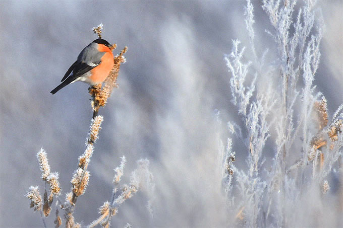 Gimpel im Winter - Foto: Karin-Simone Hauth/www.naturgucker.de