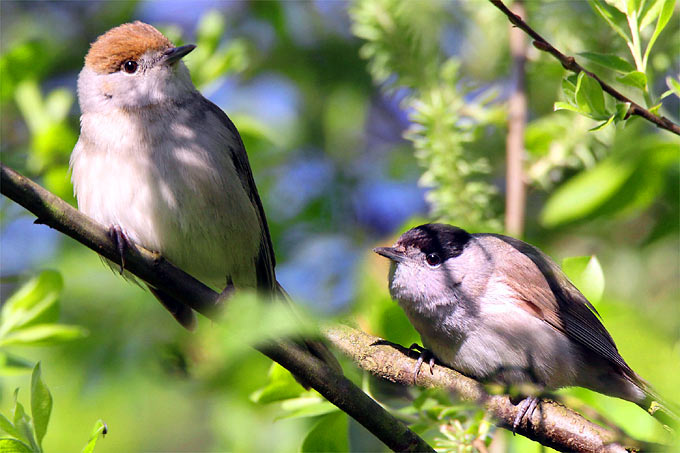 Mönchsgrasmückenpaar - Foto: NABU/Kerstin Kleinke