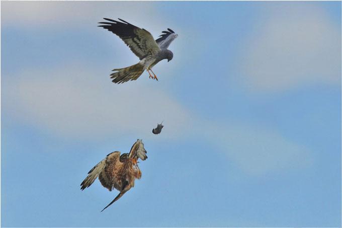 Futterübergabe der Wiesenweihen - Foto: Herbert Henderkes