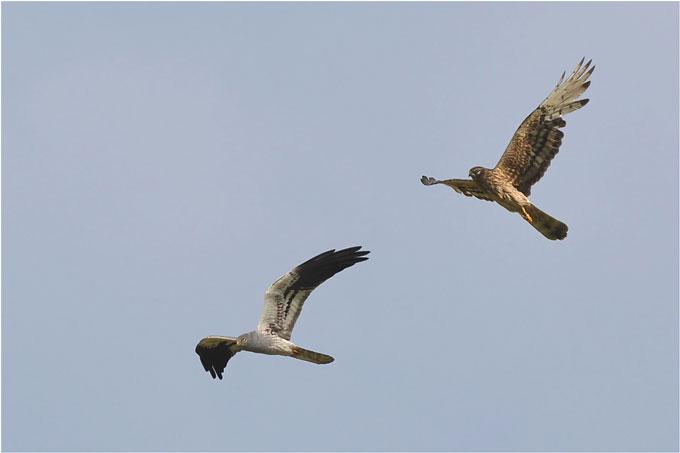 Wiesenweihenpaar im Flug - Foto: Herbert Henderkes
