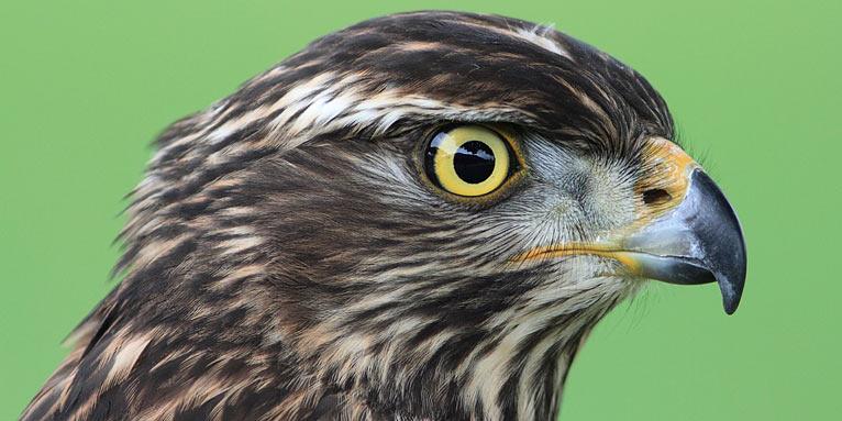 der habicht ist vogel des jahres 2015 nabu