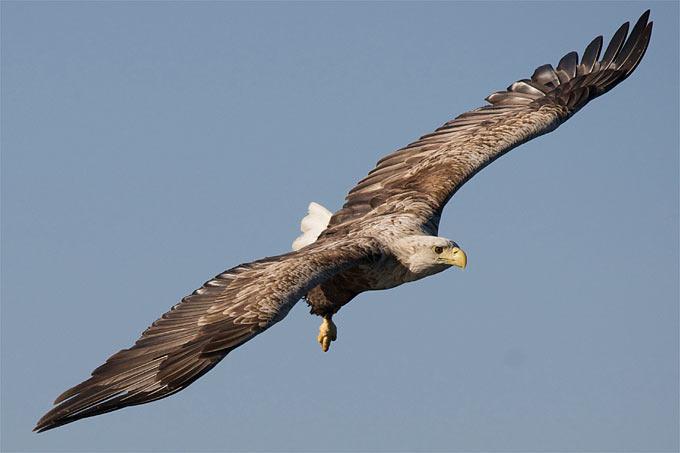 Seeadler - Foto: Christoph Kasulke
